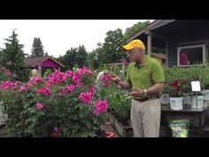 www.Sollecito.com Landscaping Ideas - Pinktopia Roses - An Amazing Plant - YouTube Learn about this easy to grow rose and how to fertilize roses.  To get advice from a Senior NYS Certified Landscaping Professional on how you can design & create sustainable and affordable landscapes visit http://sollecito.com.  #LandscapeGardenDesign #LandscapingNursery #BackyardLandscapingDesigns