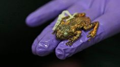 Frogman scopre Rana Arborea estinta da 137 anni in India