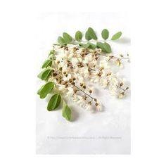 Piante officinali :: Acacia fiori T.T. (Robinia pseudoacacia L.) - Erboristeria Sauro - vendita online erbe officinali e preparati fitoterapici.Rimedi salutistici - Laboratorio d'Erbe Sauro - promozioni - sconti