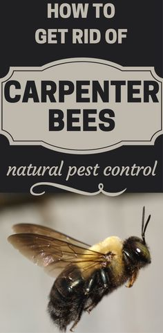 How To Get Rid Of Carpenter Bees - Natural Pest Control - HotCleaningTips.com