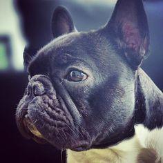 Beautiful French Bulldog.