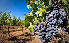 se vende bodega en region de murcia con viñedos, bodega , buena producción de vino y exportación al extranjero y con posibilidad de convertir en hotel rural con 17 habitaciones. ideal para un hotel rural con bodega.