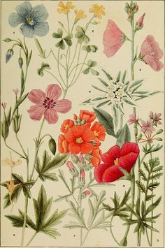 """Image from page 82 of """"Rocky Mountain flowers : an illustrated guide for plant-lovers and plant-users"""" (1920) by Internet Archive Book Image..."""