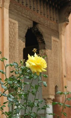 Yellow rose at the Saadian Tombs in Marrakech, Morocco. http://www.tourabsurd.com/scenes-from-morocco/ #travel #morroco #africa #rose #flower
