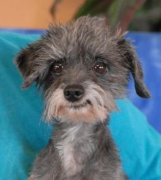 Peluche is a tiny, 5-pound cutie with a happy-go-lucky personality and he's debuting for adoption today at Nevada SPCA (www.nevadaspca.org).  He is a Toy Poodle mix, about 8 years of age, neutered boy, good with dogs, and reportedly housetrained.  When we rescued him he was a matted, tangled mess, so neglected by his previous owners that we couldn't even see his eyes.  We had Peluche shaved and groomed, and had his teeth cleaned too, giving him a fresh start.
