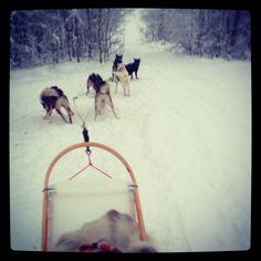 #Huskies in #Lapland Arctic, Finland, Sweden, Husky, Wolf, Travel, Viajes, Wolves, Traveling