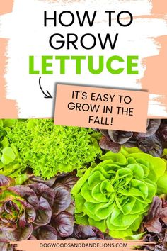 Lettuce is a great first vegetable for beginning gardeners. Lettuce is easy to grow and is rarely bothered by insects or diseases. Here is your complete guide on how to grow lettuce in the spring or fall garden. Container Vegetables, Organic Vegetables, Growing Vegetables, Vegetable Gardening, Container Gardening, Gardening Tips, Grow Lettuce, Backyard Farming, Grow Your Own Food