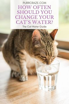 How often should you change your cat´s water? Is it really necessary to change it multiple times a day?  Learn more about this in this article!    #cats #catcare #catfaq #caturday #cutecats #pets #animals Siamese Cat Breeders, Siamese Kittens, Cats And Kittens, First Time Cat Owner, Cat Health Care, Cat Fountain, Cat Scottish Fold, Cat Hacks, Kitten Care