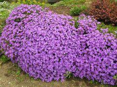 Plante vivace couvre sol feuillage persistant floraison for Vivace floraison hivernale