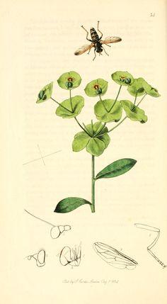 v. 1 - British entomology, By John Curtis. Publication info: London : 1824 - via Biodiversity Heritage Library