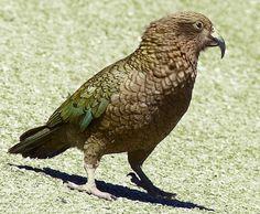 Pappagallo Kea - Nestor Notabilis Parrots, Bird Feathers, Beautiful Birds, Applique, Parrot Bird, Frames, Birds, Parrot, Parakeets