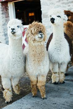 Alpaca love - Kate Golding at Shed Chetwyn Farm