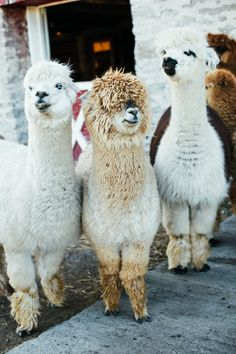Alpaca love - Kate G