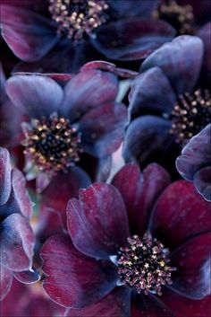 Chocolate Cosmos. Chokladblomma. they smell heavenly of chocolate, bloom all summer and are beautiful. #floral #flower