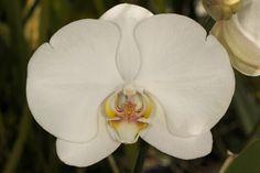 Moth-orchid: Phalaenopsis 'Jetgreen Spring'