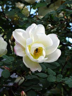 Juhannusruusu, Finnish midsummer rose.