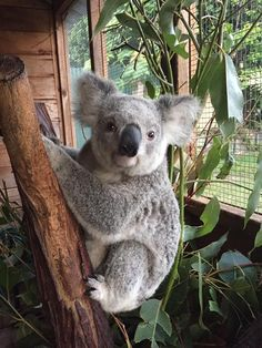 koalas are the cutest things