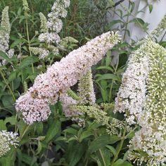 Zwerg-Schmetterlingsflieder 'Reve de Papillon White®'