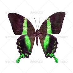 Realistic Graphic DOWNLOAD (.ai, .psd) :: http://vector-graphic.de/pinterest-itmid-1006971555i.html ... butterfly ...  animal, background, bright, butterfly, green, insect, isolated, white  ... Realistic Photo Graphic Print Obejct Business Web Elements Illustration Design Templates ... DOWNLOAD :: http://vector-graphic.de/pinterest-itmid-1006971555i.html