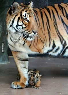 Mai injured her leg as a cub. After her rescue she had to have her leg amputated. Here she is with her cub.