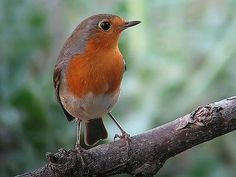 Petirrojo http://www.mascotadomestica.com/especies-de-aves/petirrojo.html