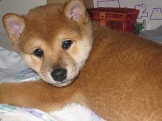 My Shiba Inu puppy - Koda