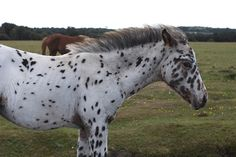 i wish i had a horse. it would look something like this. [Speckled]