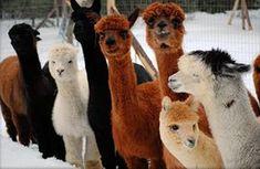 Multi-colour alpacas