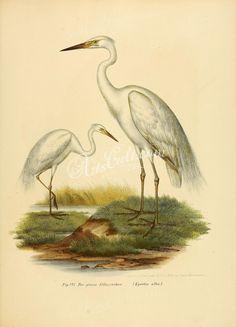 Large Egret      ...