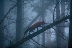 A red fox in the Black Forest, Germany | Photograph by Klaus Echle, Nature Picture Library