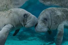 Crystal River manatees, pretty much my favorite animal