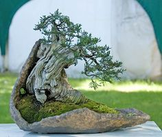 Bonsai. Very old and in a modern pot that compliments it so well.