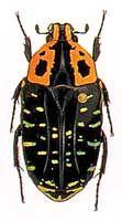 Madagascar chafer genus Euchroea clementi (Scarabaeidae: Cetoniinae)