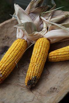 Lughnasadh - Lammas - Harvest  - Corn