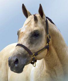 An Eligible Bachelor. Quarter Horse.