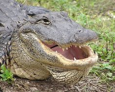 Read about the Everglades animals and find out why wildlife viewing is one of the top things to do in the Everglades region. National Park Tours, Everglades National Park, Florida Everglades, National Parks, Florida Sunshine, Sunshine State, Crocodiles, Alligators, Crocodile