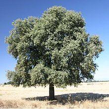 encina es un gran árbol de hoja perenne de roble originaria de la región mediterránea