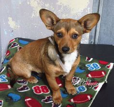 A4809865 My name is Chocolate. I am a very friendly 6 month old male brown/white Chihuahua mix. My owner left me here on March 20. available now Baldwin Park shelter https://www.facebook.com/photo.php?fbid=942293219115849&set=pb.100000055391837.-2207520000.1427040253.&type=3&theater
