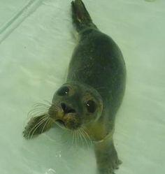 One week old seal pup