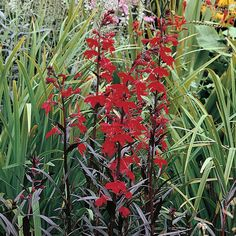 Lobelia cardinalis 'Queen Victoria', Full sun to part shade, 2-3' H, 2' W, July to Sept.