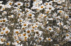 "Chamomile Flowers in Summer Garden. From ""Nature"" photo prints collection."