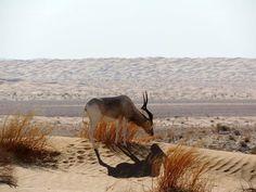 Gazelle en plein désert, ça existe encore chez nous!!