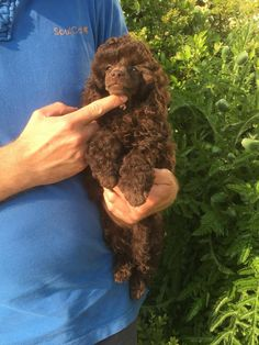 Meg, Chocolate brown toy poodle 10 weeks old