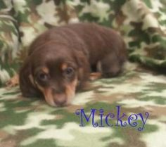 Mickey is an adoptable Dachshund Dog in Houston, MO. MICKEY Doxie�Mix Female BABY Hello my name is�Mickey, I am�8 weeks old.��Our momma was brought to the shelter as a stray, the shelter allowed her t...