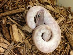 Crystal Ball Python- Male – BHB Reptiles Pretty Snakes, Beautiful Snakes, Animals Beautiful, Super Snake, Ball Python Morphs, Like Animals, Circle Of Life, Reptiles And Amphibians, Crystal Ball
