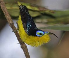 Yellow- bellied sunbird- asity