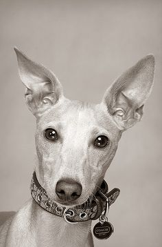 Dasher, Italian Greyhound, 6 months.