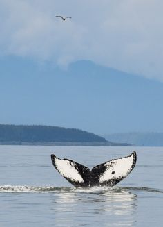 Whale watching in Juneau, Alaska - It's prime summer season for humpback whales in Alaska!