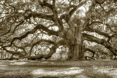 """I got married under this tree it is """"Angel Oak"""" on Johns Island in Charleston SC between the two limbs that touch the ground on the right of the picture"""