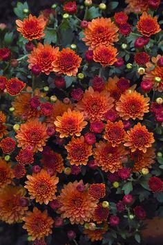 saatkontor: Herbst-Chrysantheme / Costmary, Chinese Aster,...